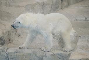 円山動物園のシロクマの写真素材 [FYI04854012]