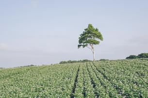 北広島市のジャガイモ畑の写真素材 [FYI04854014]