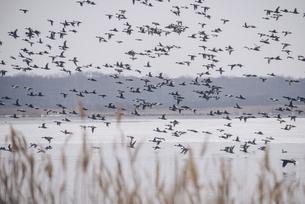 ウトナイ湖のマガンの群れの写真素材 [FYI04854041]