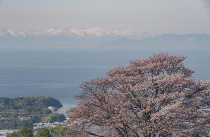 小樽天狗山からの桜風景の写真素材 [FYI04854052]