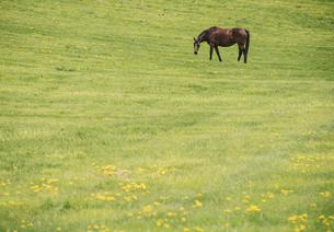 タンポポと馬の写真素材 [FYI04854055]
