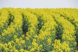 安平町の菜の花畑の写真素材 [FYI04854056]