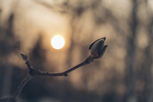 朝日を浴びる木の芽の写真素材 [FYI04854067]
