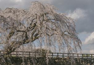 弘前公園のしだれ桜の写真素材 [FYI04854072]