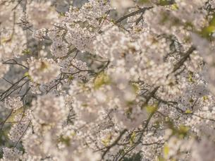 弘前公園の桜の写真素材 [FYI04854074]