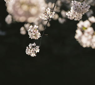 弘前公園の桜の写真素材 [FYI04854075]