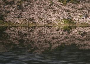 弘前公園の夜桜の写真素材 [FYI04854080]