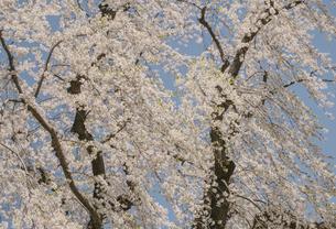 青森の桜の写真素材 [FYI04854083]