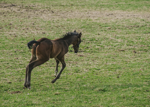 飛び跳ねる子馬の写真素材 [FYI04854084]