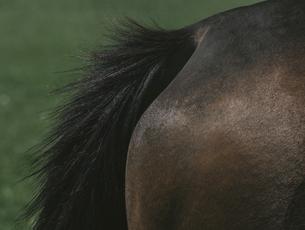 馬のお尻の写真素材 [FYI04854089]