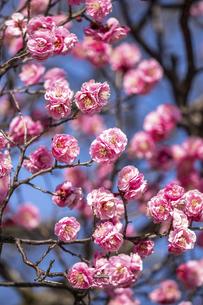 ピンクの紅梅の写真素材 [FYI04854114]