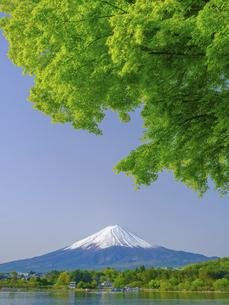 山梨県 河口湖の青もみじと富士山の写真素材 [FYI04854192]