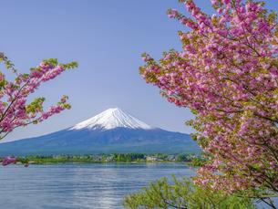 山梨県 河口湖の八重桜と富士山の写真素材 [FYI04854193]