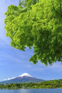 山梨県 河口湖の青もみじと富士山の写真素材 [FYI04854199]