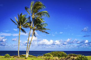 【旅行】青空の下のヤシの木 ハワイの写真素材 [FYI04854222]