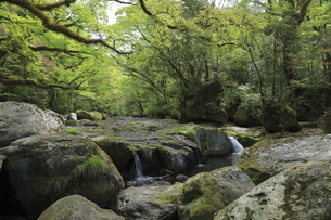 菊池渓谷の苔むす森の景色の写真素材 [FYI04854254]