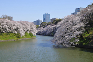 桜満開の千鳥ヶ淵の写真素材 [FYI04854438]
