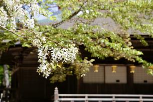 藤の花の写真素材 [FYI04854661]