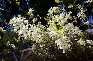 藤の花の写真素材 [FYI04854665]