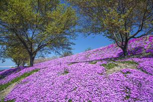 芝桜の写真素材 [FYI04854764]
