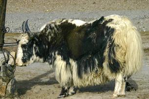 家畜のヤクの写真素材 [FYI04854919]