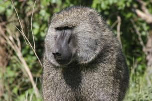 ナイロビ国立公園のアヌビスヒヒの写真素材 [FYI04854928]