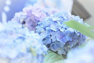 アジサイの花の写真素材 [FYI04854983]