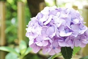 アジサイの花の写真素材 [FYI04854993]
