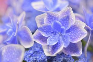 アジサイの花(こんぺいとう)の写真素材 [FYI04854997]