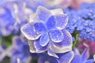 アジサイの花(こんぺいとう)の写真素材 [FYI04855001]