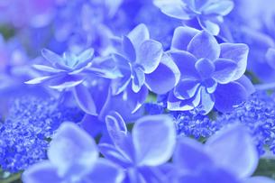 アジサイの花(こんぺいとう)の写真素材 [FYI04855003]