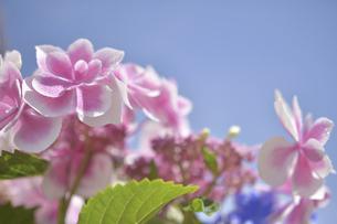 アジサイの花(こんぺいとう)の写真素材 [FYI04855011]