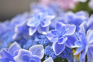 アジサイの花(こんぺいとう)の写真素材 [FYI04855018]