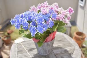 アジサイの花(こんぺいとう)の写真素材 [FYI04855019]