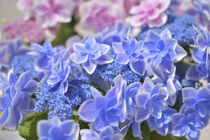 アジサイの花(こんぺいとう)の写真素材 [FYI04855023]
