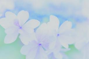 アジサイの花の写真素材 [FYI04855024]