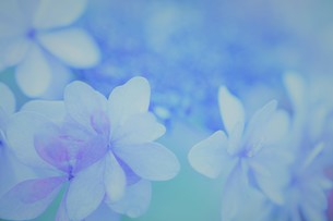 アジサイの花の写真素材 [FYI04855027]