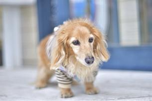 テラスの犬の写真素材 [FYI04855196]