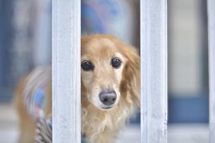 柵の間からのぞく犬の写真素材 [FYI04855199]