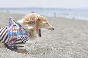 あくびをする犬の写真素材 [FYI04855201]