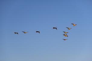 V字飛行する白鳥の群れの写真素材 [FYI04855216]