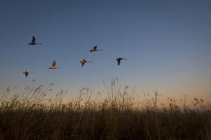 枯野をかすめて飛ぶ白鳥たちの写真素材 [FYI04855217]