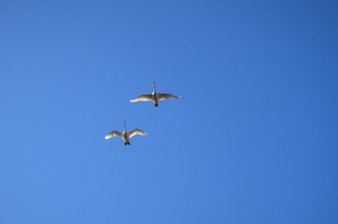 上空を飛び去る二羽の白鳥の写真素材 [FYI04855224]