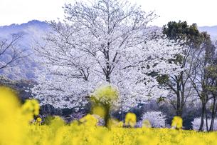 しまばら火張山花公園の桜と菜の花の写真素材 [FYI04855310]
