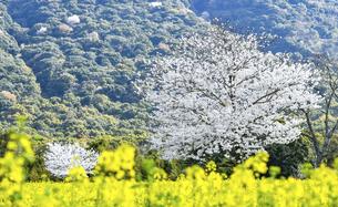 しまばら火張山花公園の桜と菜の花の写真素材 [FYI04855311]