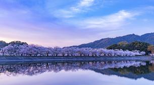 熊本県 立岡自然公園の桜の写真素材 [FYI04855315]