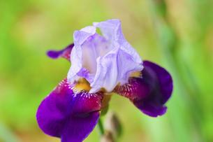 ジャーマンアイリス(虹の花)の写真素材 [FYI04855373]