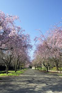 小金井公園の枝垂れ桜の並木道の写真素材 [FYI04855415]