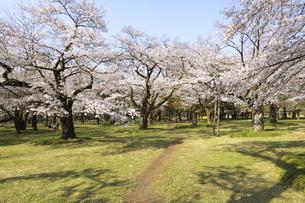 小金井公園の満開の桜と小道の写真素材 [FYI04855418]