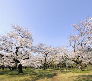 青空と小金井公園の満開の桜の写真素材 [FYI04855420]